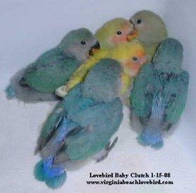 handfed lovebird babies