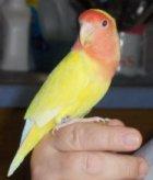 Handfed Lovebird Breeder