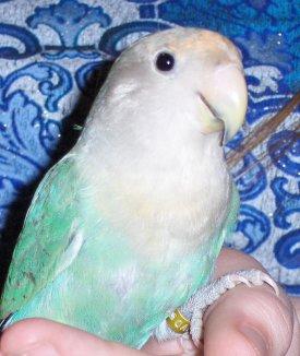 Basil white face green lovebird