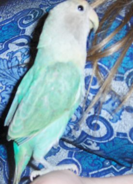 Basil, seagreen opaline